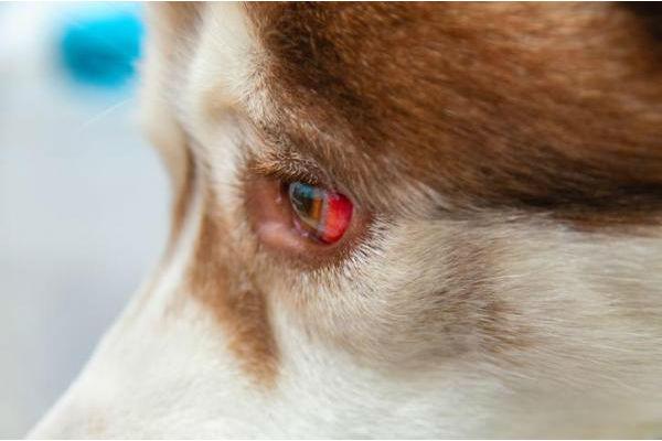occhio rosso del cane