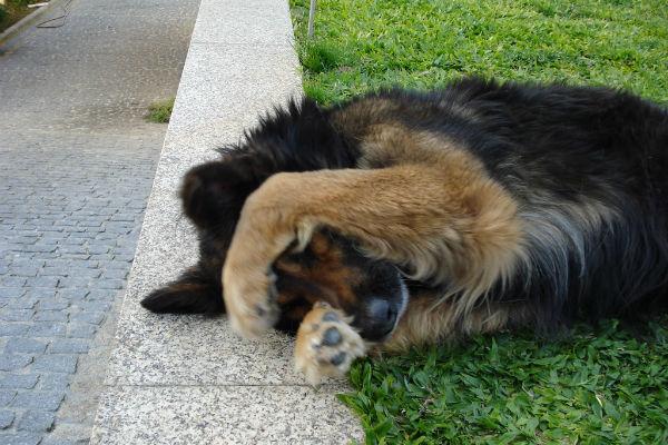 Perché il cane si gratta?
