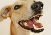 osteopatia craniomandibolare nel cane