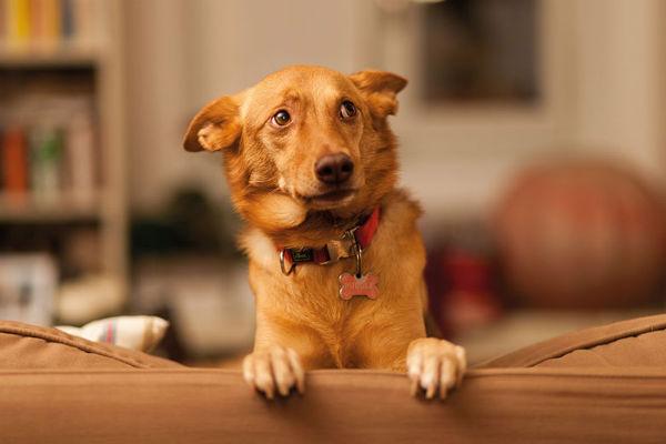 Perché il cane ha i testicoli gonfi?