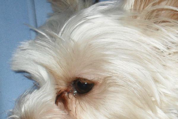 Perché il cane piange?