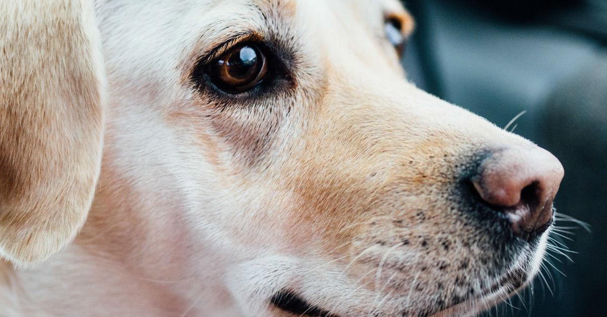 Si verifica in seguito a un trauma. Bisogna intervenire tempestivamente. Cosa bisogna fare in caso di perforazione tracheale del cane?