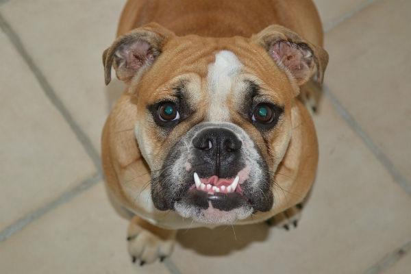 Perché il cane batte i denti?