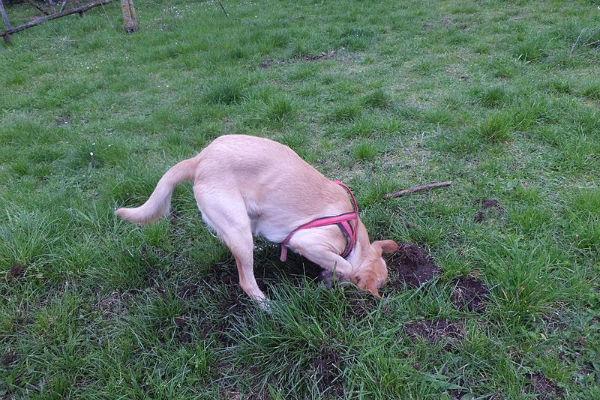 Perché il cane mangia la terra?