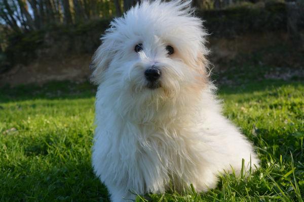 Perché il cane perde il pelo