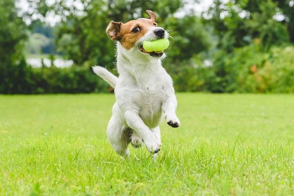 Pressione alta nel cane: che fare?
