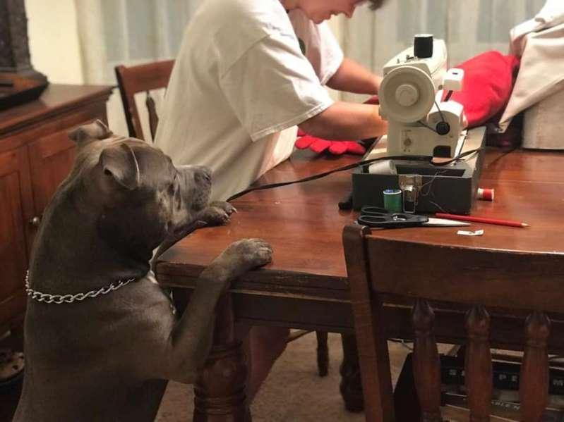 Il cane strappa il cuscino: la reazione