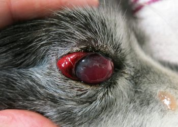 cane con sangue negli occhi