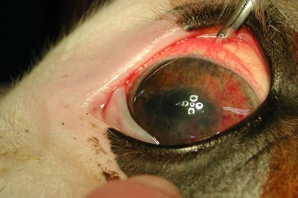 occhio del cane con sangue
