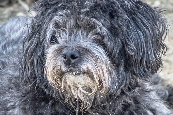 Seborrea del cane: cause, sintomi e cura