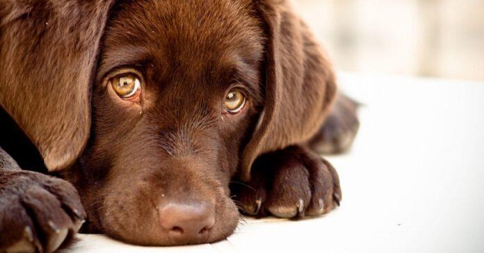 cane finge di essere triste