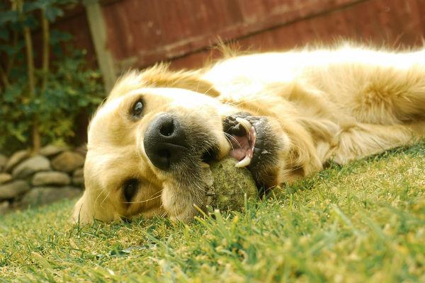 cane con la palla
