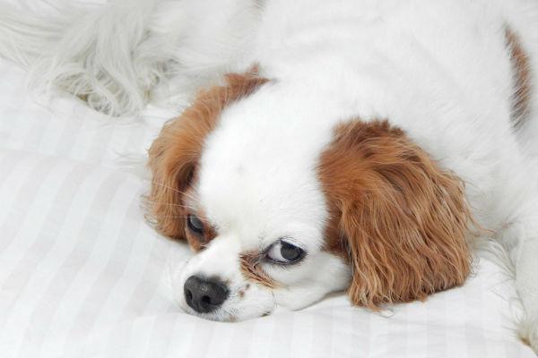 cane sveglio