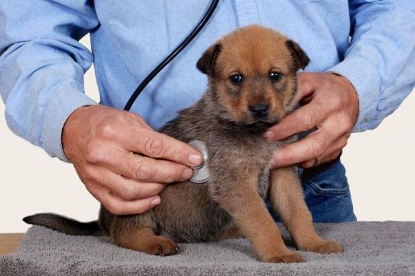 Enteropatia immunoproliferativa nel cane: cosa bisogna sapere