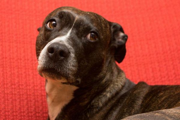 cane su sfondo rosso