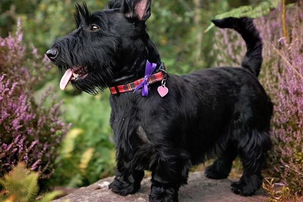 cane scottish terrier