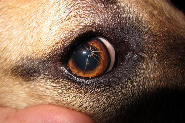 occhio di un cane