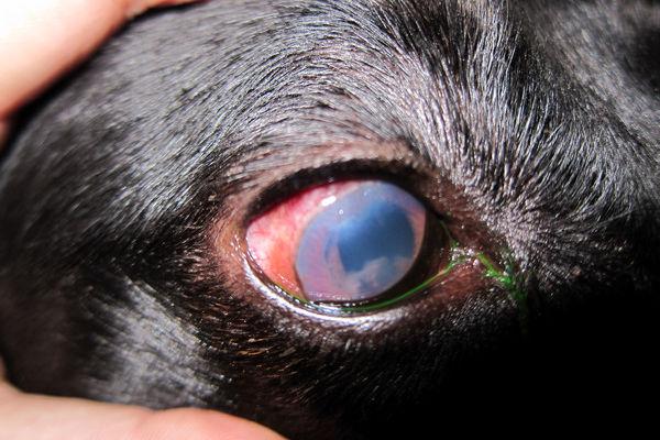 occhio malato del cane