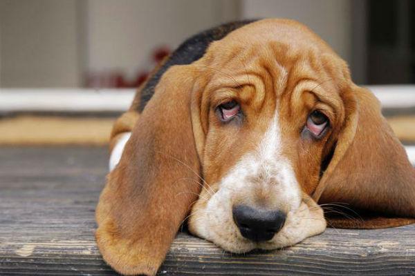 ulcere dell'occhio del cane