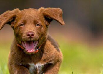 orecchie del cane