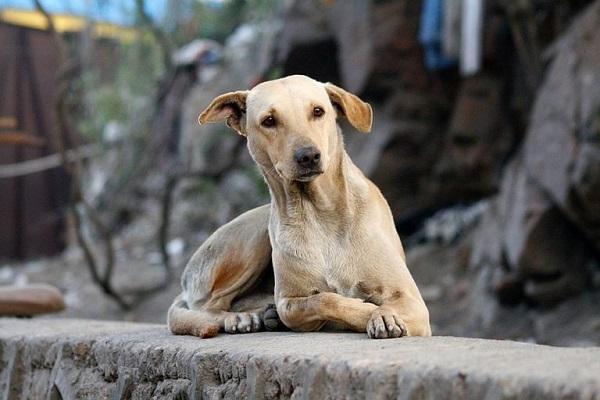 cane che aguzza l'udito