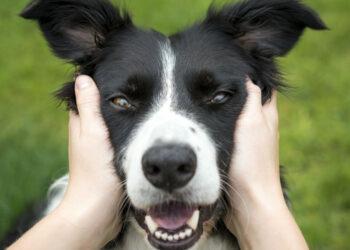 cane sereno