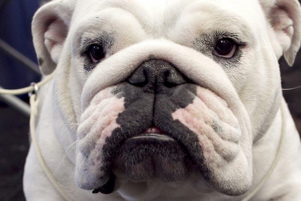 cane con testa grande
