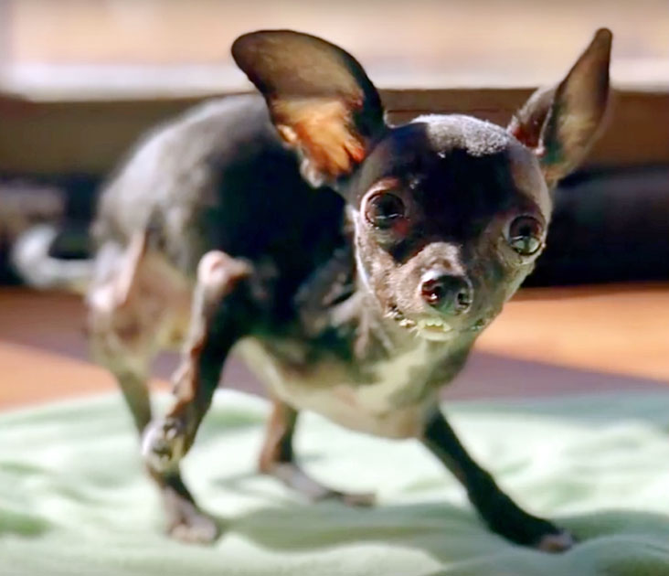 Cane Chihuahua
