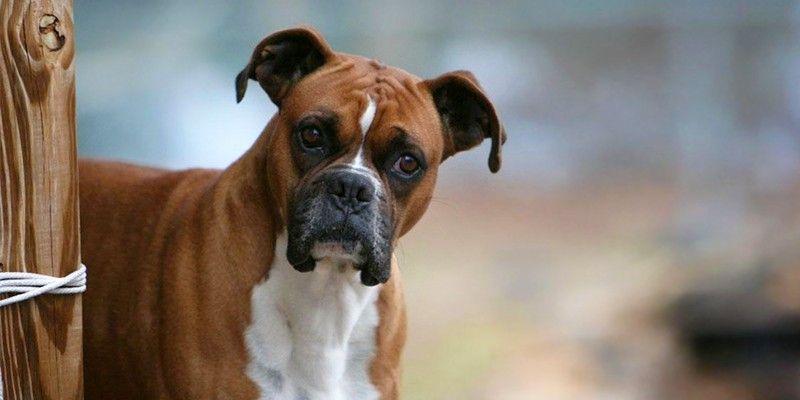 Pat, il cane che ha salvato la sua padrona dopo un incidente d'auto