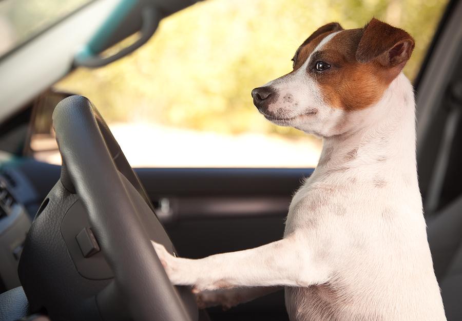 Cane che giuda una macchina