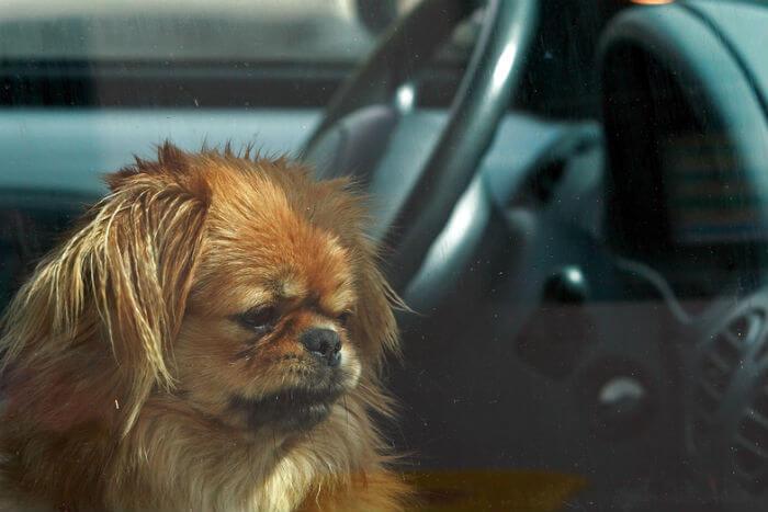 Cane che guarda fuori da un'auto
