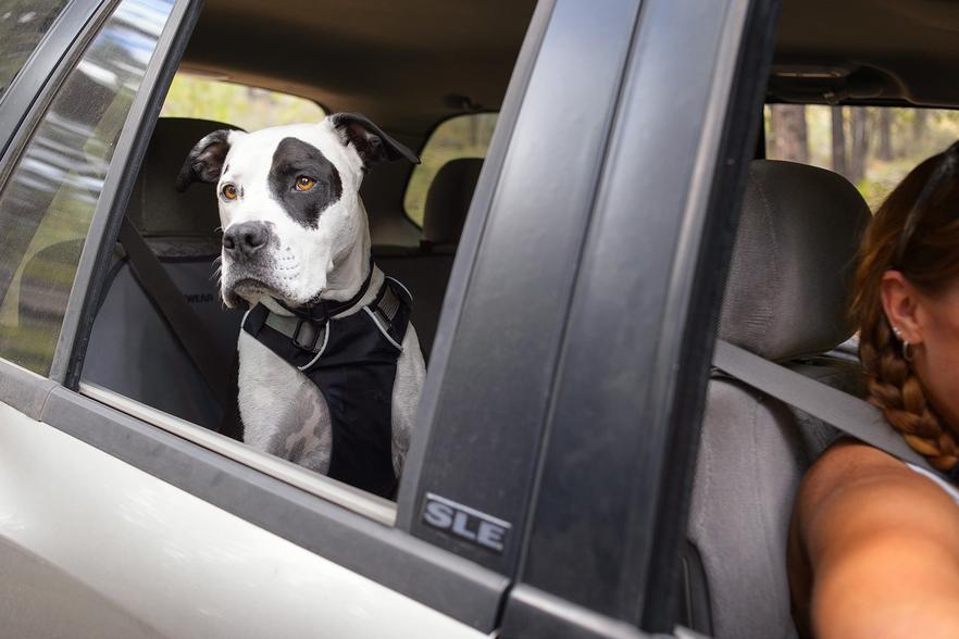 Cane che guarda fuori dal finestrino di una macchina
