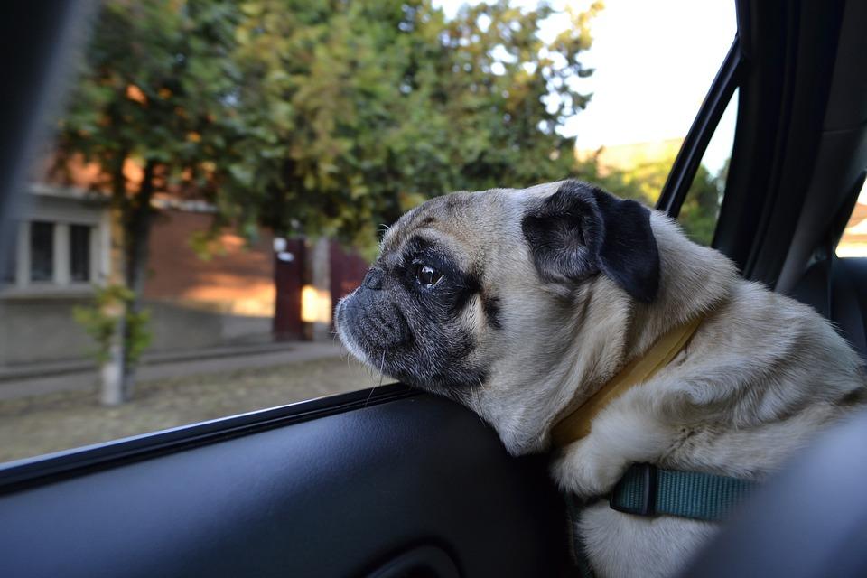 Cane che guarda fuori dal finestrino di un'auto