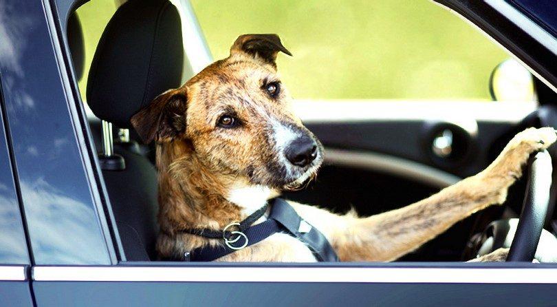 Cane che guida