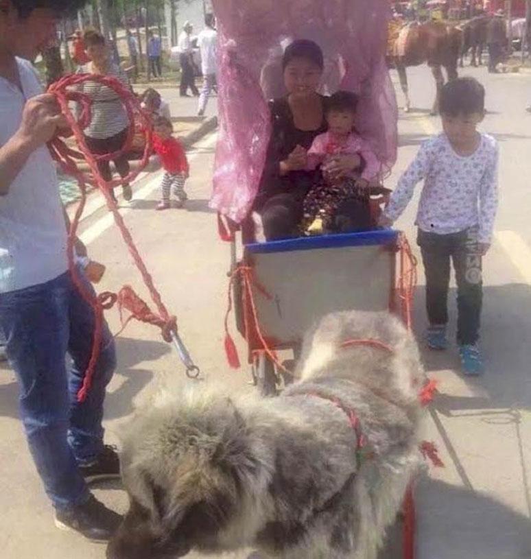 Cane che traina carretto con persone