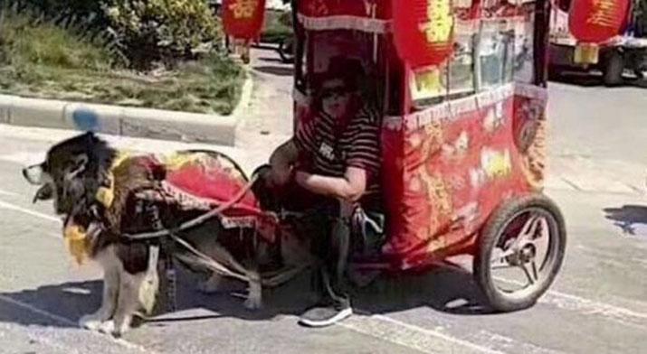 Cane che traina un taxi