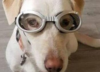 Cane con occhiali da motociclista