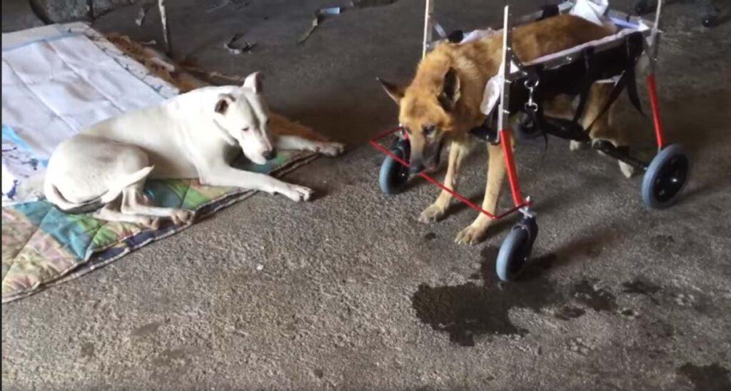 Cane con un carrellino che lo aiuta a camminare