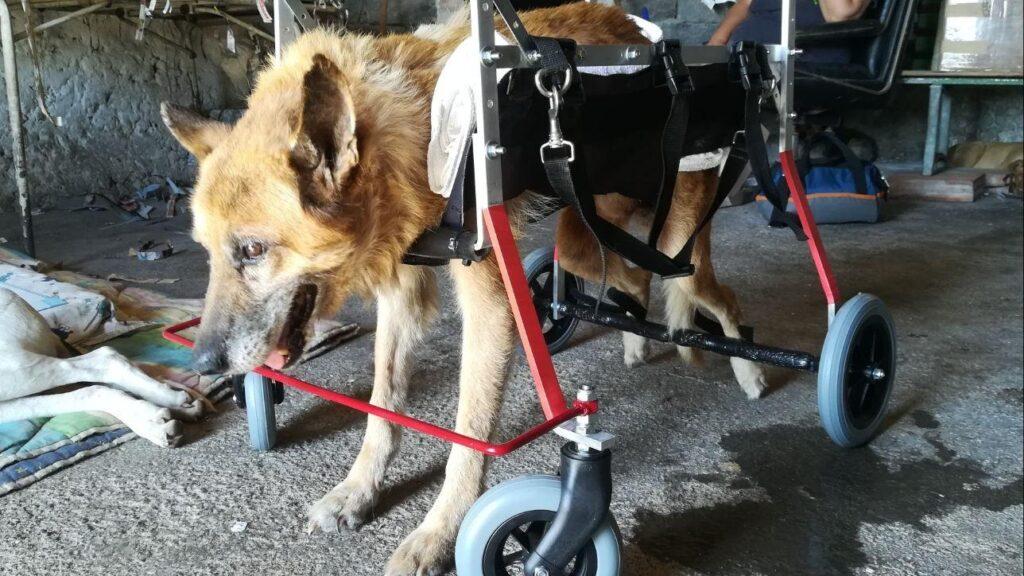 Cane con un carrellino per camminare