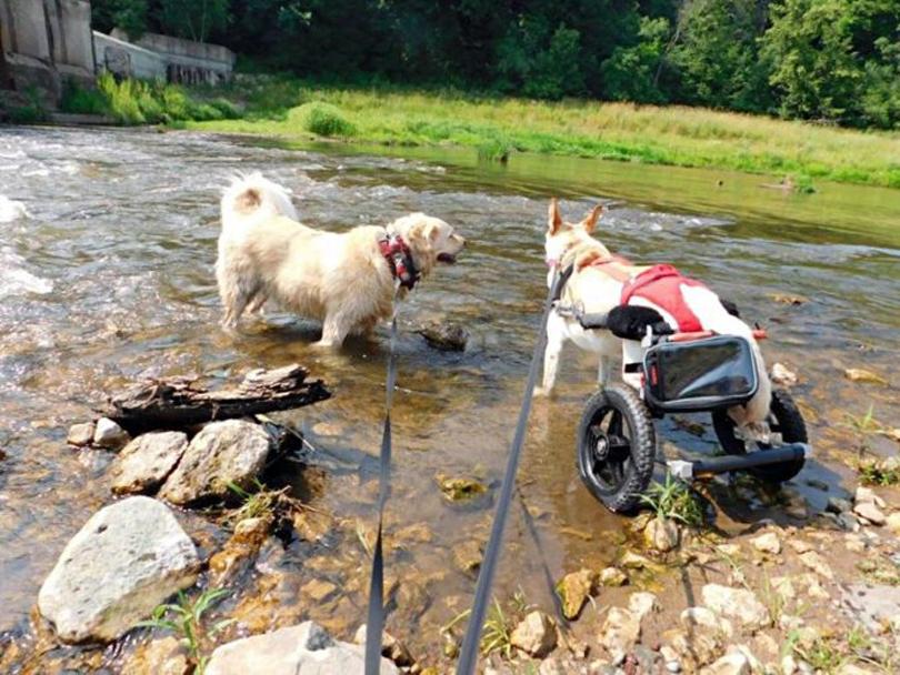 Cane con una sedia a rotelle