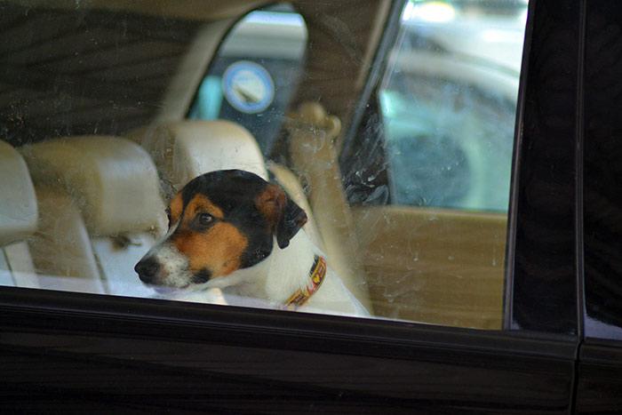 Cane dentro ad una macchina