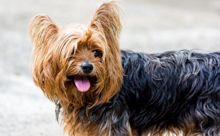 Cane di razza yorkshire