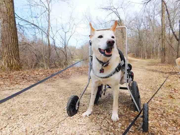 Cane disabile