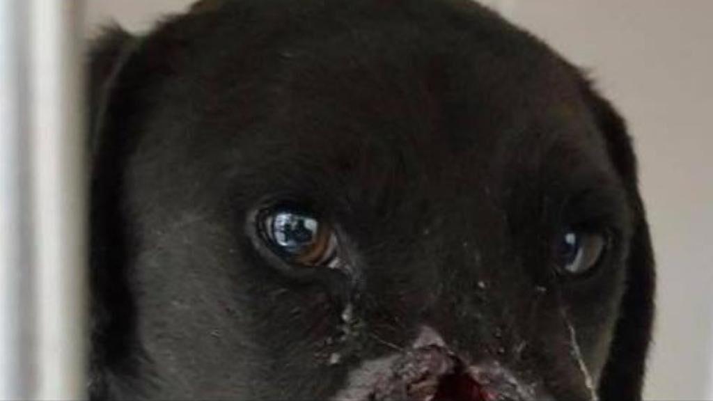 Cane ferito al volto