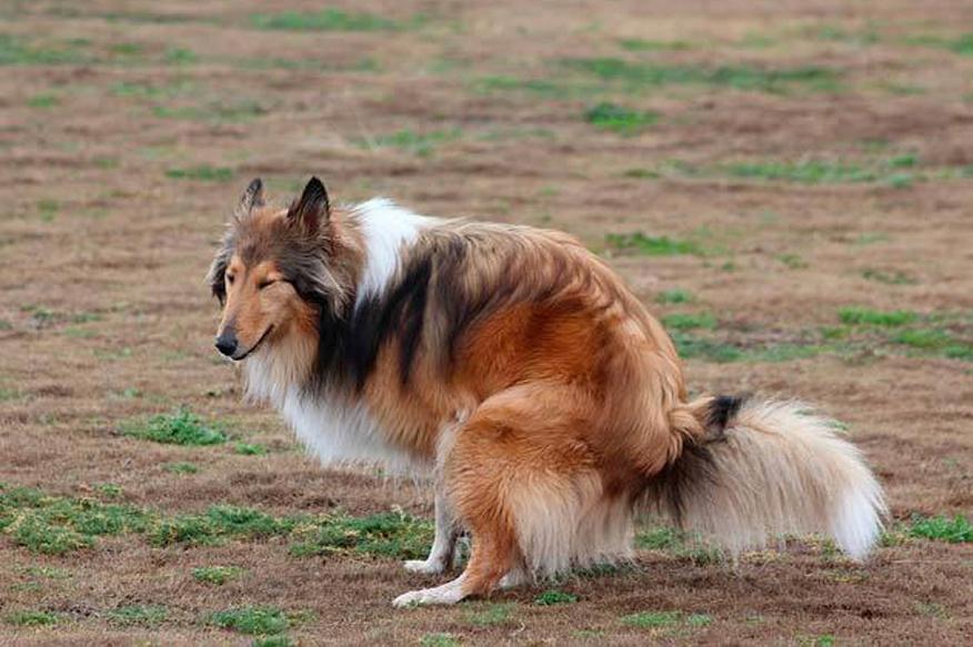 Cane mentre fa i propri bisogni