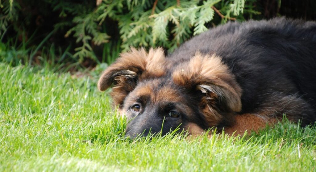 Cane sdraiato in giardino