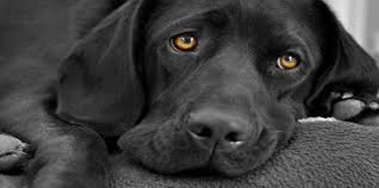 Moose, il cane che aspetta il padrone davanti ad un letto di ospedale vuoto