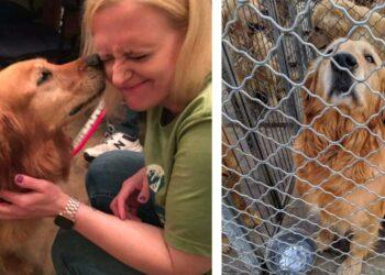 Cani Golden Retriever salvati