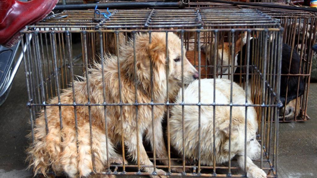 Cani al Festival di Yulin
