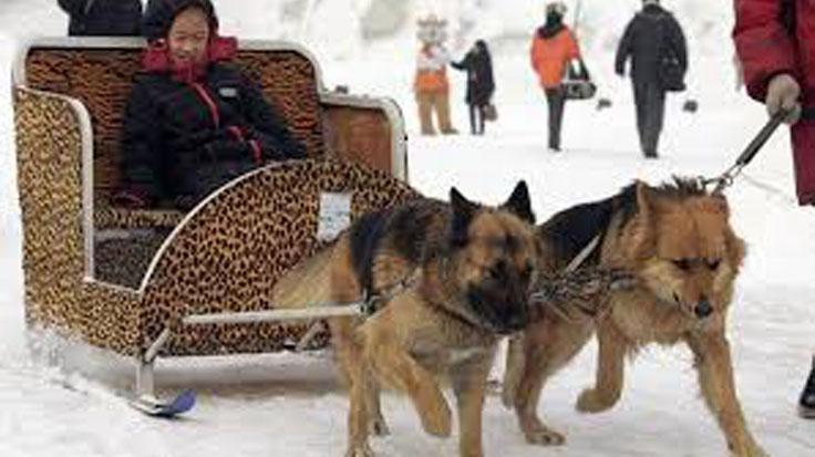 Cani che trainano un taxi